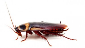 Blatella_germanica_German_cockroach