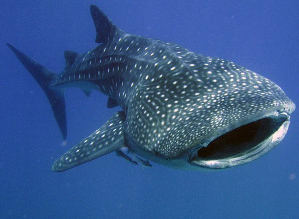 whale_shark2
